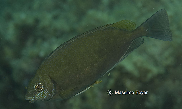 siganus luridus pesce coniglio