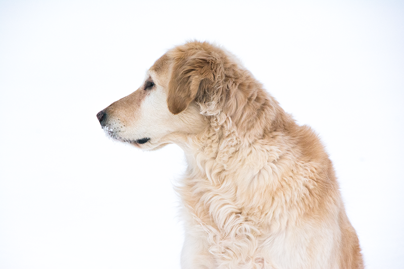 Golden Retriever profile