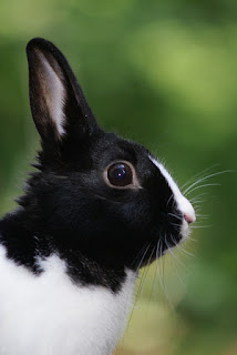 Black and white rabbit.