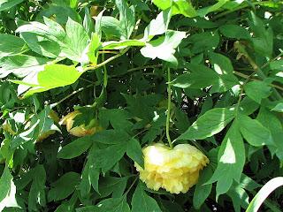 Yellow Peony Tree