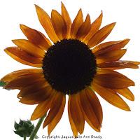 Autumn Beauty Sunflower Blossom