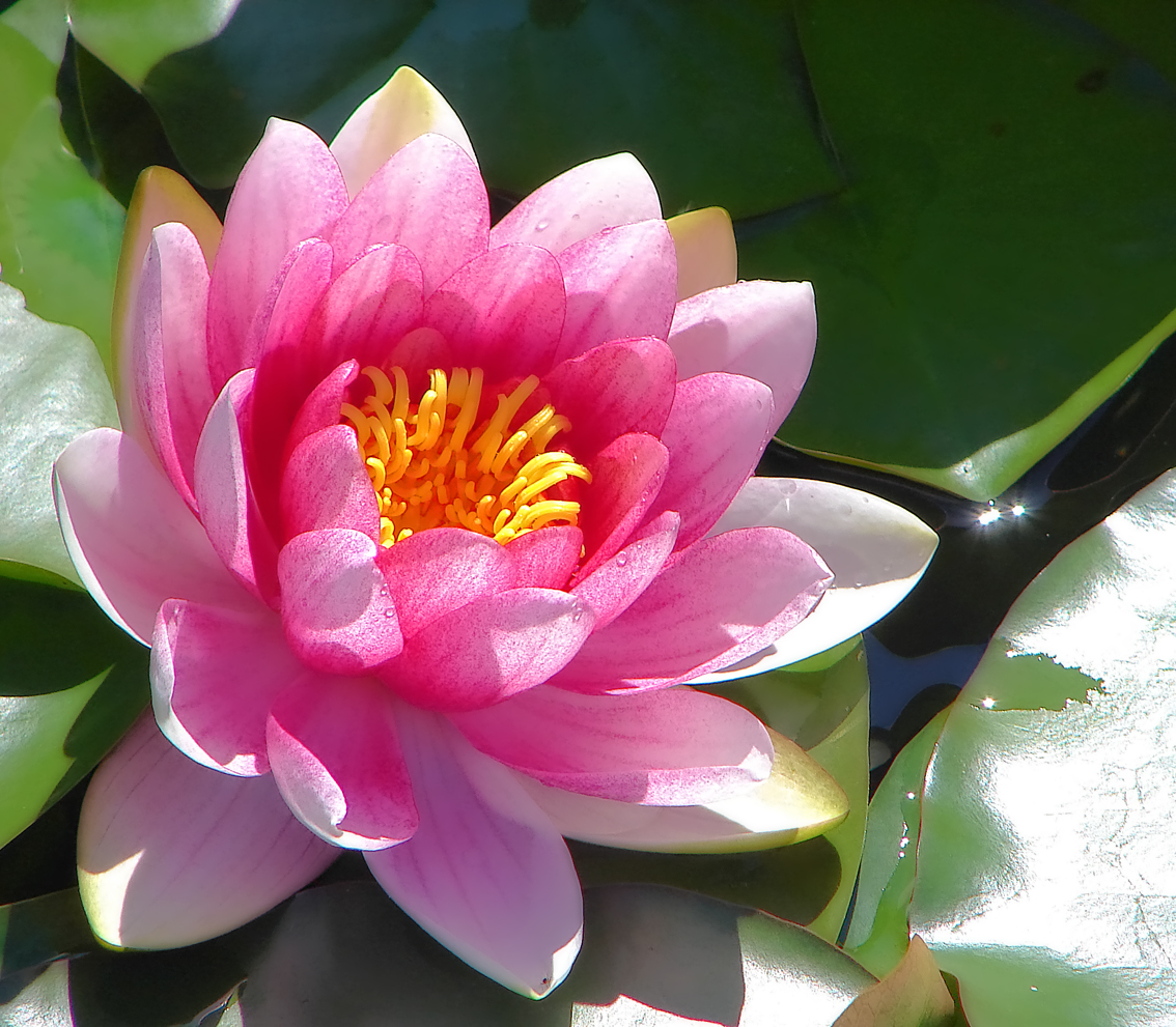 Water Lily: Wallpaper: Water Lily Wallpaper