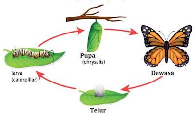 metamorfosis sempurna kupu-kupu