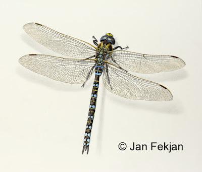 Bilde av digigrafiet 'Øyenstikker (Aeshna juncea)'. Digitalt trykk laget på bakgrunn av maleri av insekt. Illustrasjon av øyenstikker, Aeshna juncea. Hovedmotivet er en øyenstikker, som er blå-og svartmønstret. Den sitter på en nøytral hvit bakgrunn. Bildet er i breddeformat.