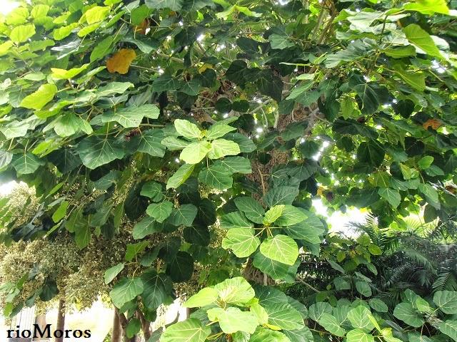 árboles exóticos HIGUERA DEL CABO: Ficus sur