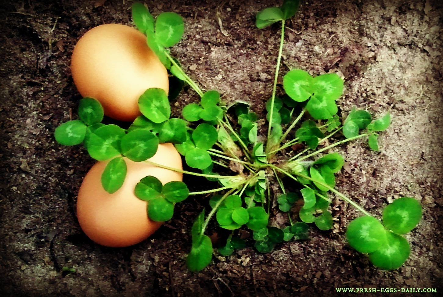 The Down and Dirty on Feeding Clover to your Chickens | Fresh Eggs