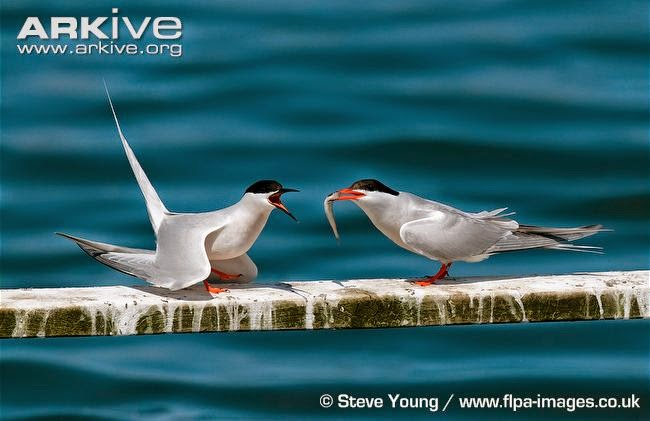 interactions between Laridae Common tern