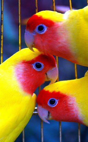 African lovebirds images |Funny Animal