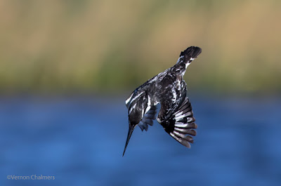 Pied Kingfisher at Work - Woodbridge Island, Cape Town