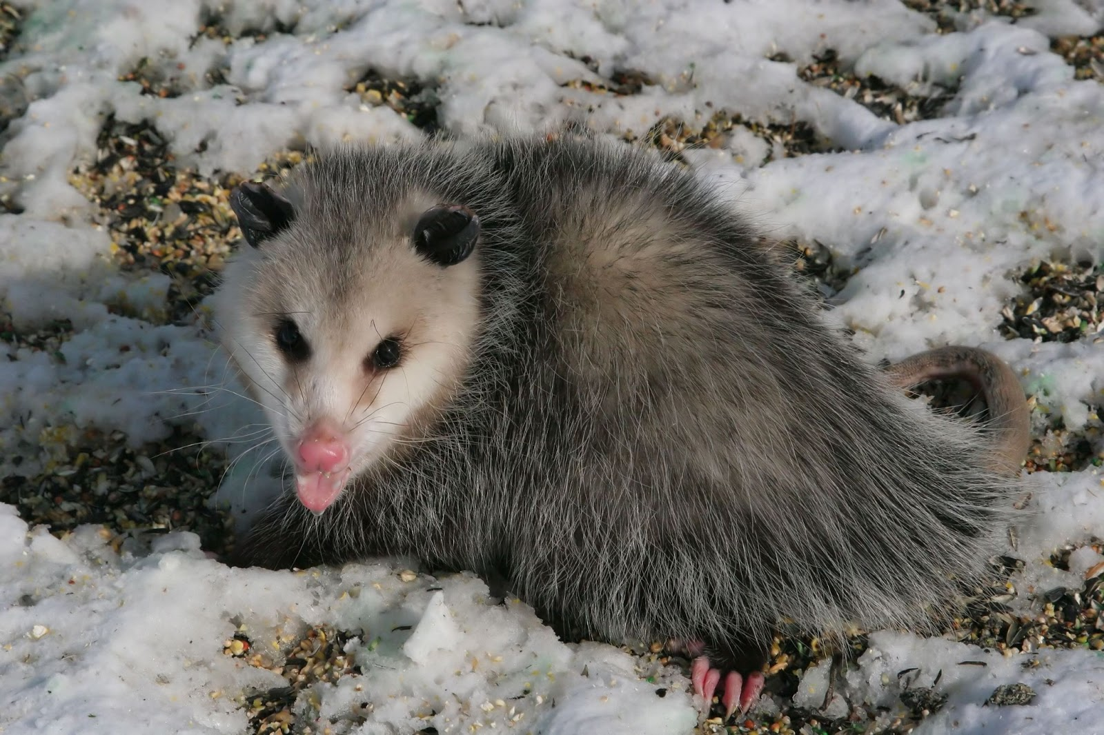 Opossum Habitat Pictures on Animal Picture Society