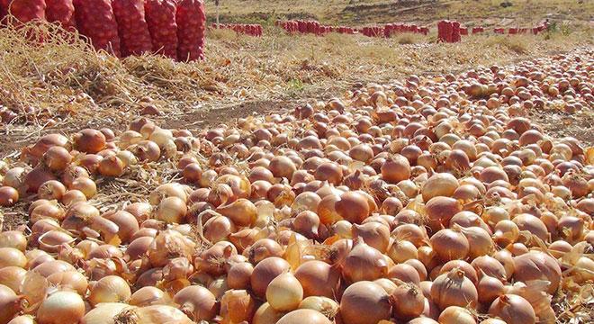 Satılamayan tonlarca soğan tarlalarda çürüyor