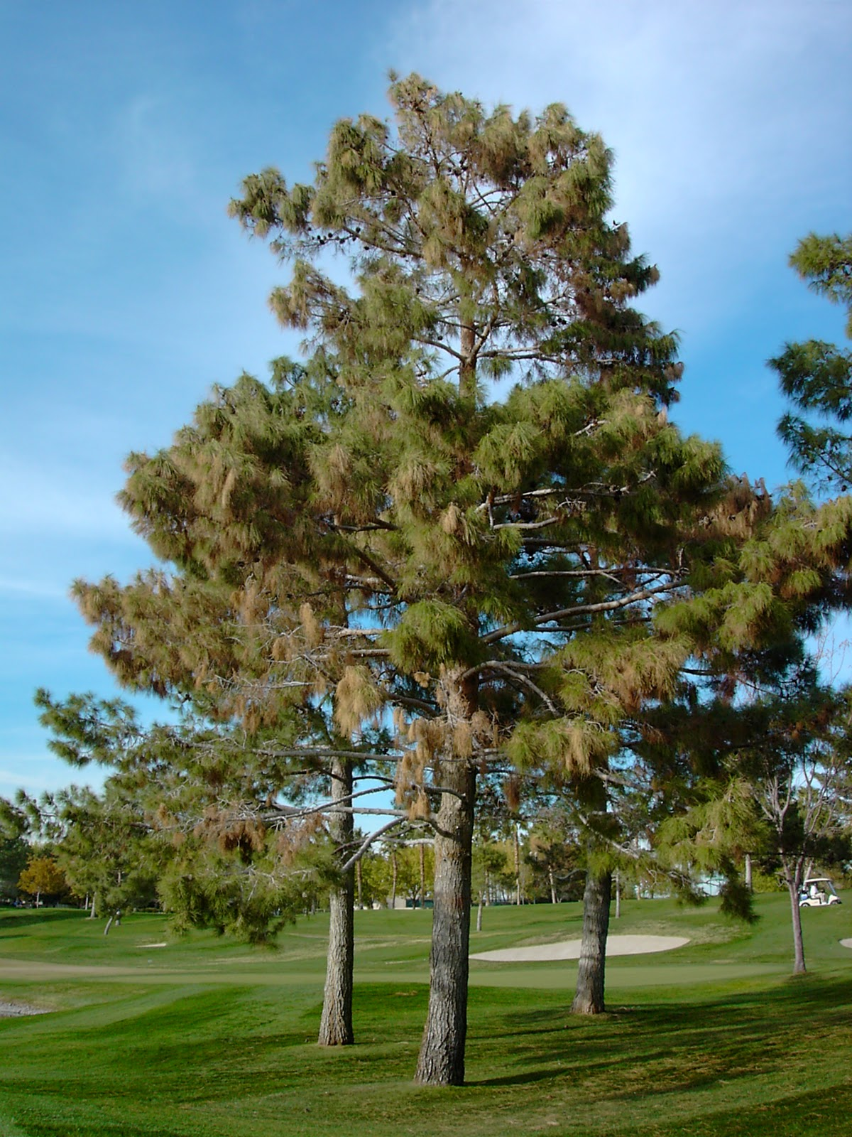 Trees Of Santa Cruz County Melaleuca Quinquenervia: Xtremehorticulture Of The Desert: Why Is My Pine Tree So