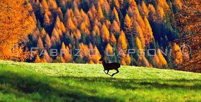 Corri cerbiatto, Serie Autumn, ©2007 Fabrizio Capsoni