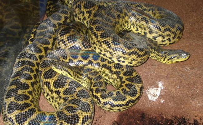 Anakonda kuning