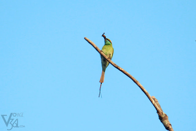 Green bee-eater with its favorite prey bee