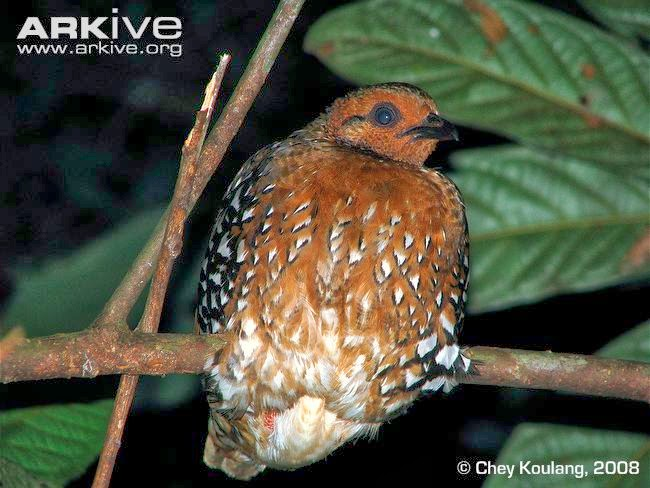 Chestnut headed Partridge