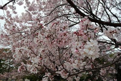 Sakura hanami at Imperial Palace Tokyo Japan