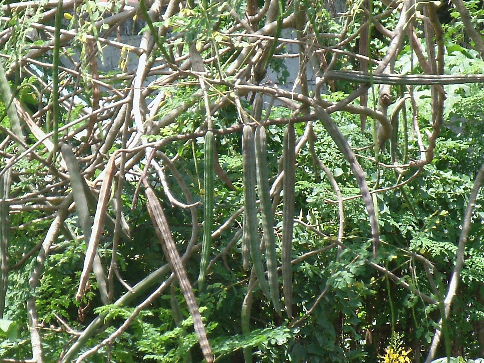 The Health Benefits of Moringa (Malunggay)