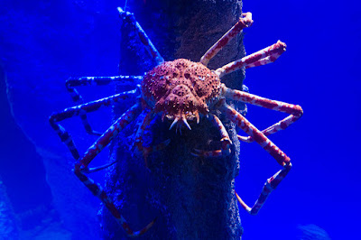 unknown facts about the spider crab