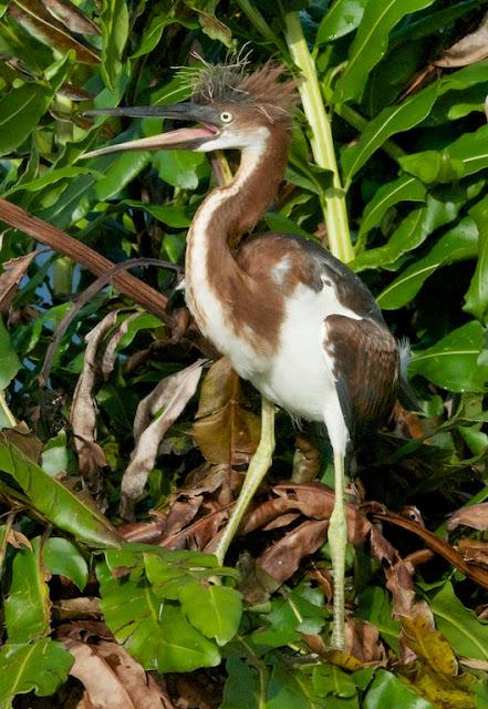 Tricolored Heron (Egretta tricolor)