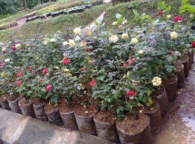 Bunga Mawar dalam Polybag
