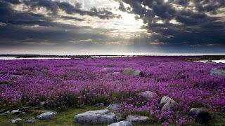 Фиолетовый эдельвейс