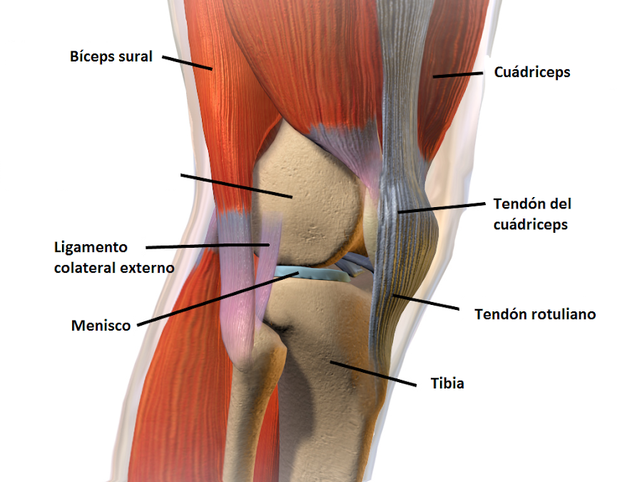 Rodilla con tendones, músculos, ligamentos, meniscos y huesos
