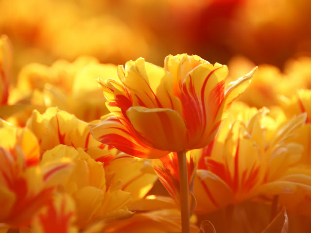 http://2.bp.blogspot.com/-7A3ZmMreM4w/TgdZ8cz_arI/AAAAAAAAAfQ/HKWR_i88HOI/s640/Travel+%252CBicolor+Tulips%252C+pictures.jpg