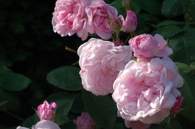 romantische rozentuin. Rosa Jaques Cartier