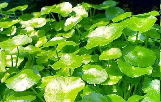 Manfaat daun pegagan juga seringkali dijadikan sebagai tumbuhan herbal untuk mengatasi permasalahan jerawat dengan cara menumbuk halus daun pegagan kemudian ditempel ke permukaan jerawat.