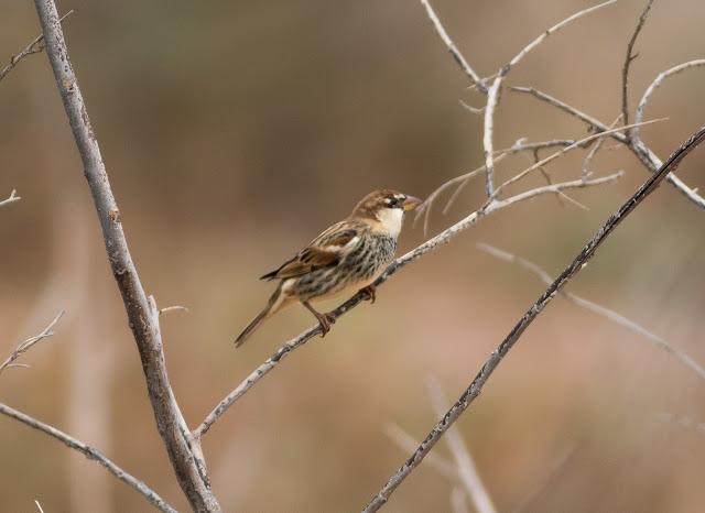 Spanish Sparrow - Barranco de la Torre, Fuerteventura