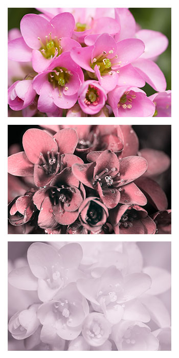 A cluster of Elephant's ears (Bergenia crassifolia) flowers photographed in visible light (top), ultraviolet (middle), and infrared (bottom)