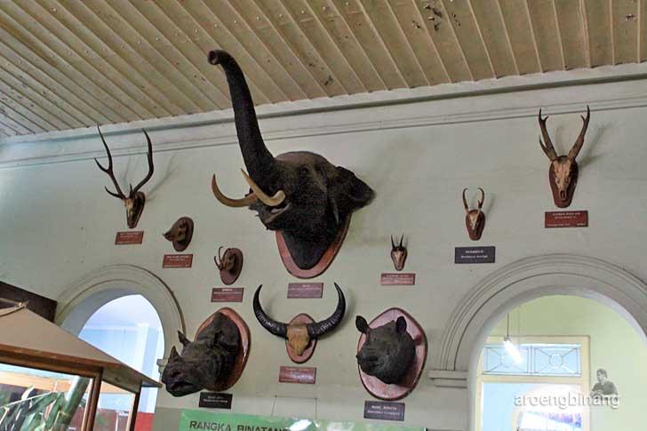 menjangan badak gajah museum zoologi bogor