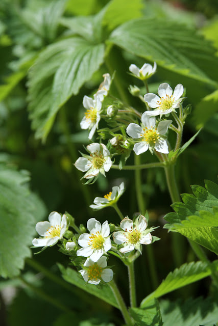 strawberry flowers, wild strawberries, Anne Butera, My Giant Strawberry