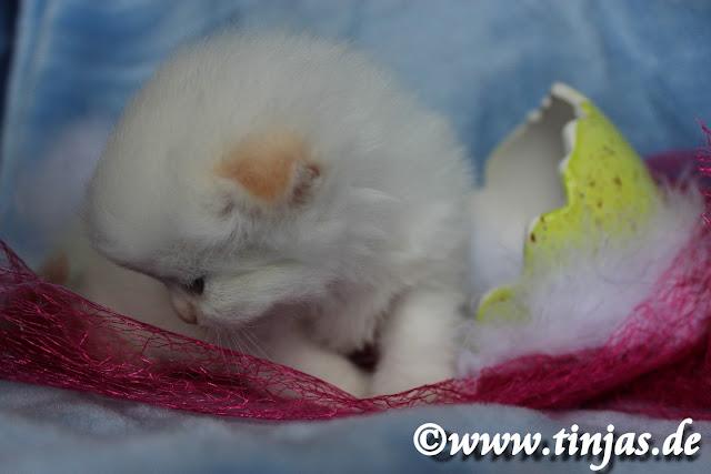 Highland Fold tinjas Katzenzucht kitten abzugeben