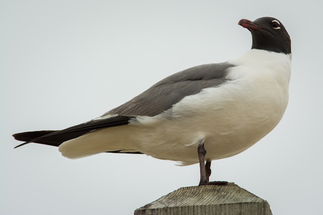 Laughing Gull, Rollover Pass