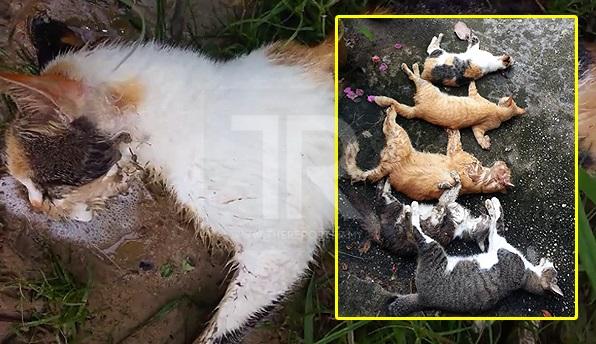 [VIDEO] 'Saya Kehilangan 7 Ekor Kucing Sekali Gus Akibat Diracun Manusia Yang Tidak Berhati Perut'