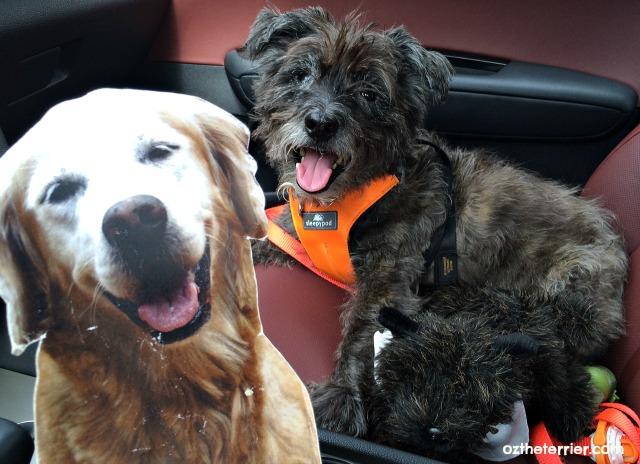 Oz the Terrier, Little Oz & Flat Sugar the Golden Retriever #drivekia to #globalpetexpo