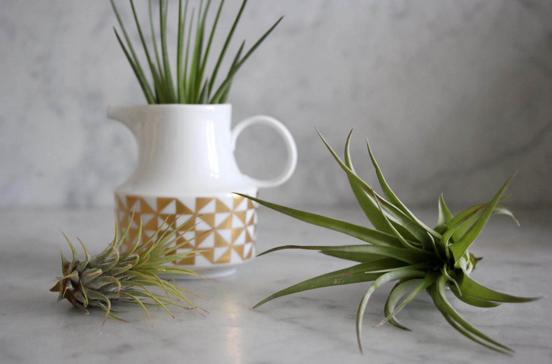 tillandsien im glas tillandsien arrangement im viereckigen glas kaufen bei obi tillandsien. Black Bedroom Furniture Sets. Home Design Ideas