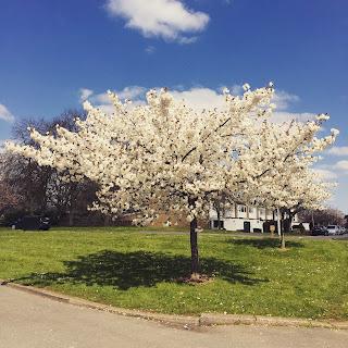 drzewo welwyngarden city