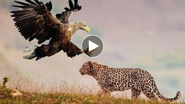 Best Eagle Attacks World S Largest And Deadliest Part 2 Bald And Golden Eagles Simple Watch