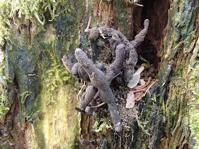 Próchnilec maczugowaty Xylaria polymorpha