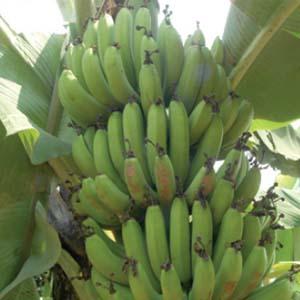 bisnis bertanam pisang