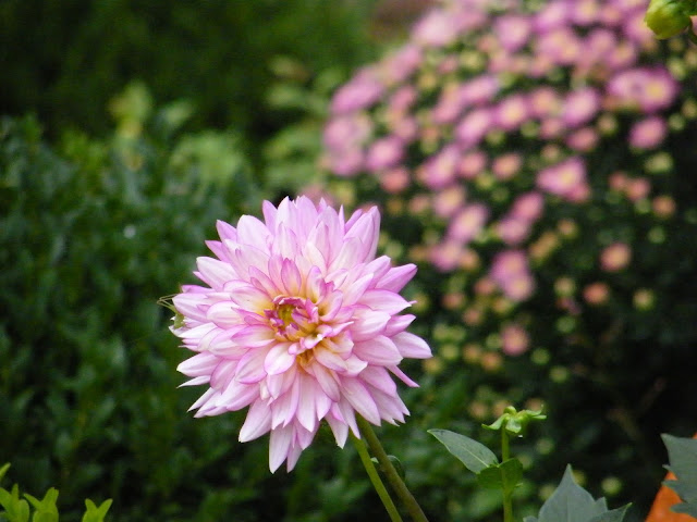A beautiful color echo of dahlia and like-hued mum.