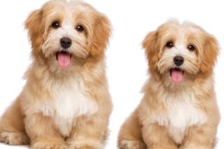Dog Behavior 5 - Mengapa Anjing Mengibaskan Ekornya?