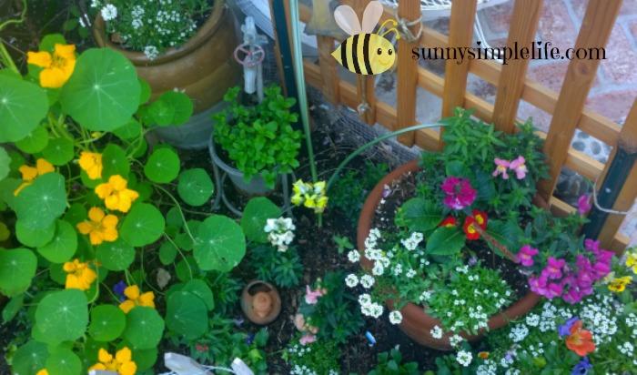 container cottage garden, nasturtium