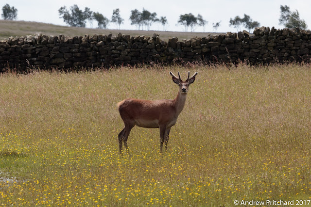 A young stag stands looking towards the camera. His feet are hidden amongst grass and buttercups.