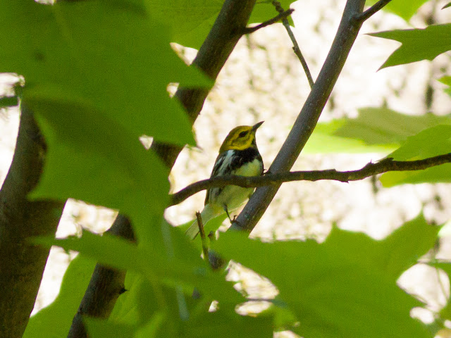 Black-throated Green Warbler - Prospect Park, New York