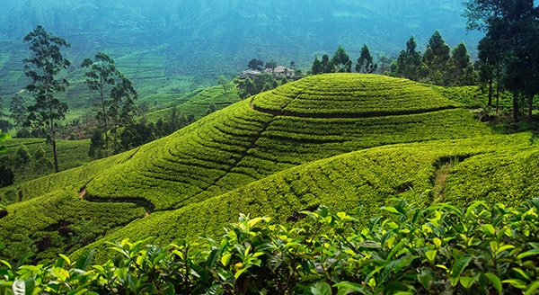 Шри-Ланка поля