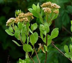 ialah tumbuhan semak dengam banyak cabang Beluntas (Pluchea indica)